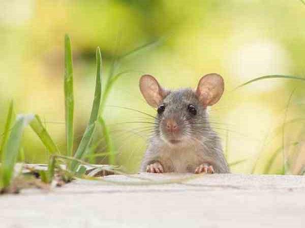 Chuột kêu là điềm gì